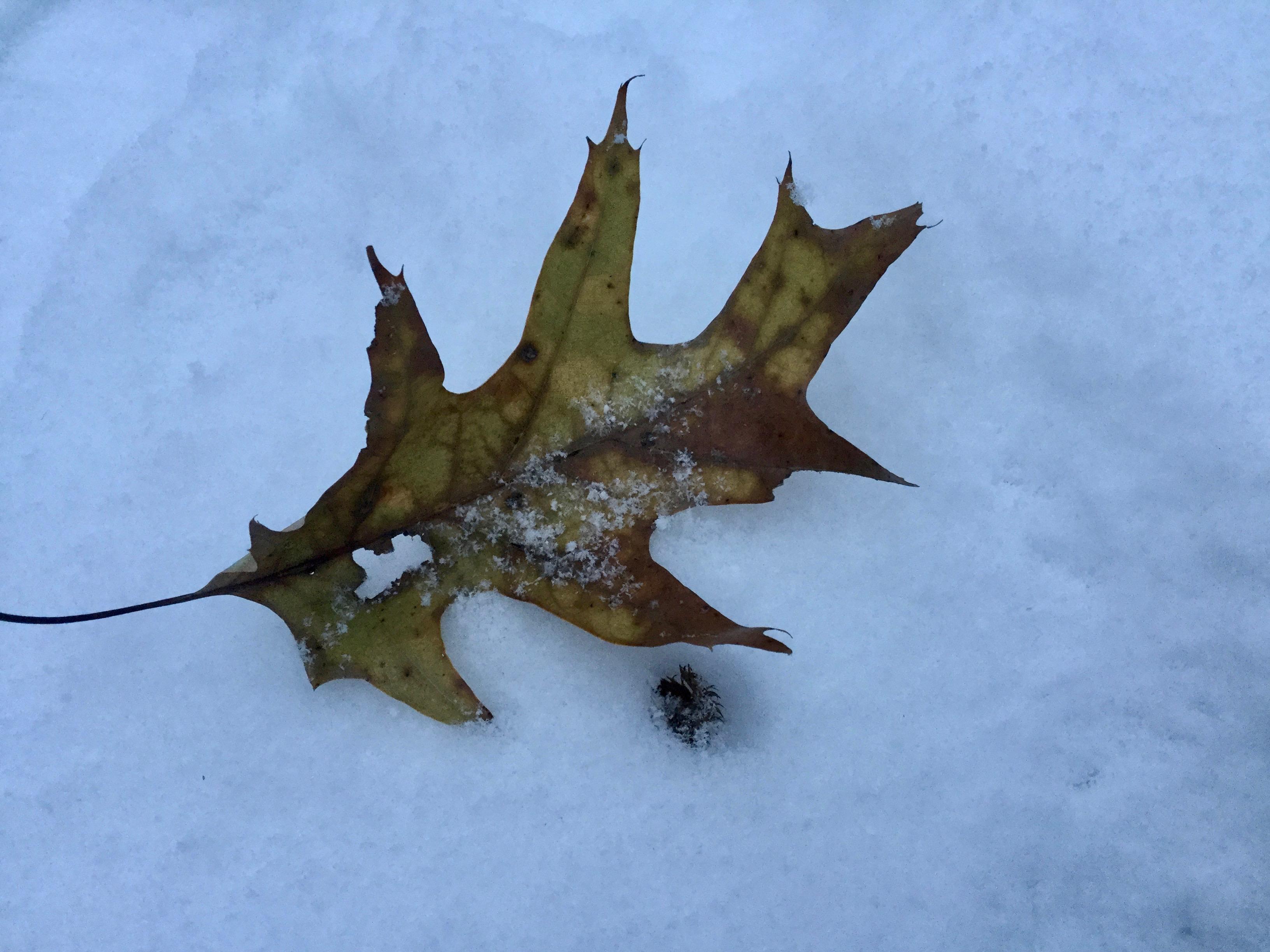 leaf in snow.jpg